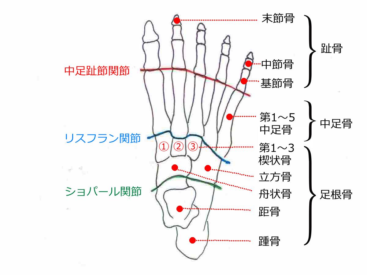 足部解剖図